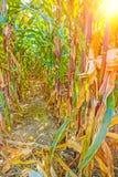 Sehen Sie trhough Reihen von Anlagen auf Maisfeld an Stockfotos