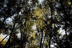 Sehen Sie von unten nach oben in einem Wald von silbernen Pappeln an Hintergrund des Himmels und der Bäume Herbst im Wald Stockbild