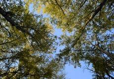 Sehen Sie von unten nach oben in einem Wald von silbernen Pappeln an Hintergrund des Himmels und der Bäume Herbst im Wald Stockbilder