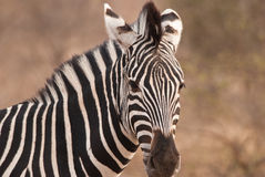 Sehen von Streifen Zebra Stockbild