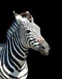Sehen von Streifen Zebra Stockfoto