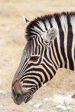 Sehen von Streifen Zebra Burchells Zebra, Equus Quagga burchellii Stockfoto