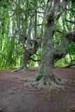 Sehr alte Bäume Stockfotografie