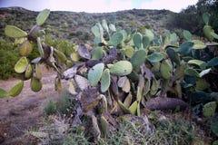 Sehr alte Kaktusfeige auf der Küste, Sardinien, Italien Lizenzfreie Stockfotografie