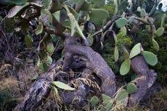 Sehr alte Kaktusfeige auf der Küste, Sardinien, Italien Lizenzfreies Stockbild
