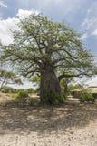 Sehr alter Baobab-Baum Lizenzfreies Stockfoto