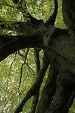 Sehr alter Baum Lizenzfreies Stockbild