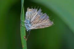 Sehr alter gemeiner blauer Schmetterling (Polyommatus Ikarus) mit den schädigenden Flügeln, die auf einem Blatt des Grases stills lizenzfreies stockfoto