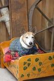 Sehr alter Haustierhund in der Kleidung auf eigenem Bett Lizenzfreie Stockbilder