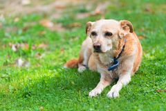 Sehr alter Hund Stockfoto