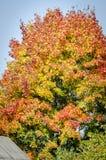 Sehr bunter Ahornbaum im Herbst Stockbilder