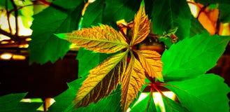 Sehr bunter Hintergrund mit Goldblattfarbe auf grünem Blatthintergrund! lizenzfreie stockbilder
