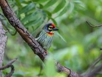 Sehr bunter Kupferschmied Barbetvogel, der auf Niederlassung sitzt lizenzfreies stockfoto