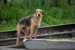 Sehr dünner streunender Hund stockbild