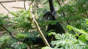 sehr entspannter schwarzer Affe Stockfoto