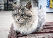 Sehr flaumige Katze Lizenzfreie Stockfotografie