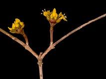 Kornelkirsche alias Kornelkirsche mas, Frühlingsblütendetail über blac Lizenzfreie Stockfotos