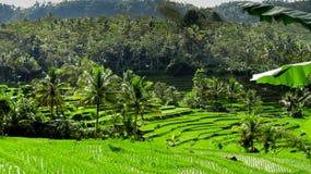 Sehr grüne Reisfelder Stockbilder