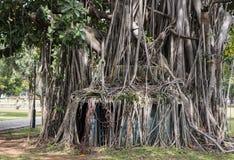 Sehr große Bäume Stockfotografie