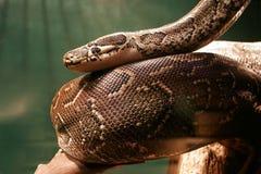 Sehr große Boa constrictor im Dschungel lizenzfreie stockbilder