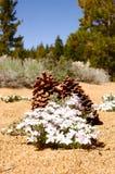Sehr große Kiefer-Kegel bei Lake Tahoe Lizenzfreies Stockfoto
