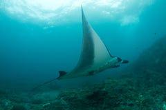 Sehr große Mantastrahlschwimmen im Ozean Lizenzfreies Stockbild