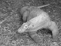 Sehr große Reptilianeidechse in der Gefangenschaft stockfotografie
