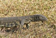 Sehr große Reptilianeidechse in der Gefangenschaft Lizenzfreie Stockfotos