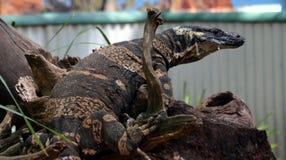 Sehr große Reptilianeidechse in der Gefangenschaft Stockbild
