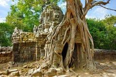 Sehr große Wurzeln des tropischen Baums auf dem Ta-Som-Gatter Stockbild