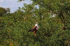 Sehr großer Eagle Fisherman auf dem Baum Serengeti, Tanzania Lizenzfreies Stockbild