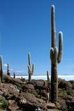 Sehr großer Kaktus, Kaktus-Insel, Salar de Uyuni Stockbild