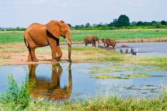 Sehr großer männlicher afrikanischer Elefant Stockfotos
