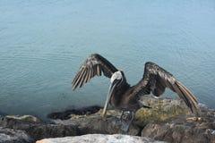Sehr großer Pelikan mit seinen Flügeln, die im Sun trocknen Stockbilder