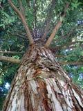 Sehr großer Rotholz-Baum stockfoto