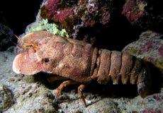 Sehr großer Vergaser am Korallenriff Lizenzfreie Stockfotos