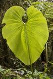 Sehr großes Blatt - Ecuador stockbild