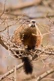 Sehr großes groundhog auf einem sehr kleinen Zweig Lizenzfreie Stockfotos