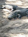 Sehr großes Krokodil Lizenzfreie Stockbilder