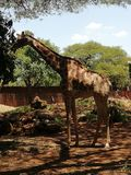 Sehr großes nettes Giraffenessen lizenzfreies stockfoto