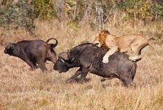 Sehr großer Büffelstier des männlichen Löweangriffs Stockfotografie