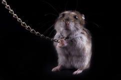 Sehr heftiger Hamster Lizenzfreie Stockbilder