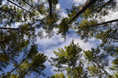 Sehr hohe Bäume Lizenzfreies Stockfoto
