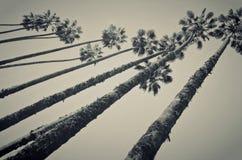 Sehr hohe Palmen lizenzfreie stockbilder