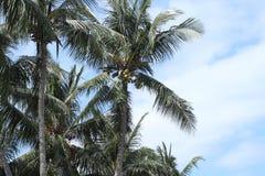 Sehr hohe Palmen Lizenzfreies Stockbild