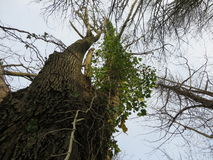 Sehr hoher Baum Stockfoto