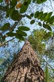 Sehr hoher Baum stockbild