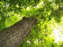 Sehr hoher Buche-Baum Lizenzfreie Stockbilder
