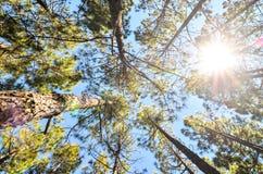 Sehr hoher Kiefernholz-Wald Stockbild