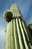 Sehr hoher Saguaro, Tucson, Arizona Stockfotografie